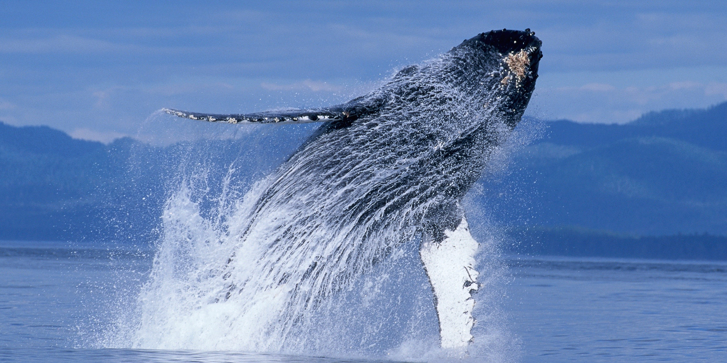 Blue Zoo: Humpback Whales