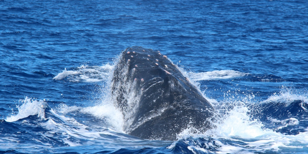 Humpback Whales: What's a Heat Run?