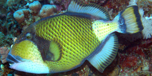 Blue Zoo: Titan Triggerfish
