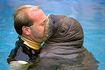 Top 5 Walrus Kisses of All Time! | One World One Ocean