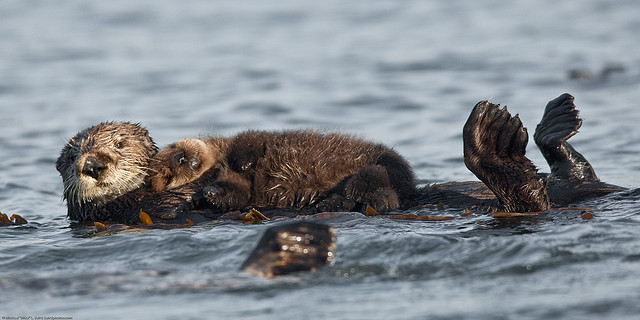 A mother otter holds h...