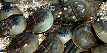 Blue Zoo: Horseshoe Crab