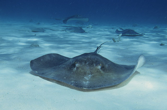 blue zoo skates and rays one world one ocean