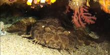 Blue Zoo: Wobbegong Shark