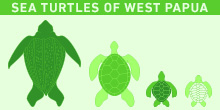 Infographic: Sea Turtles of West Papua