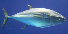 Are captive tuna farms a viable alternative to overfishing?
