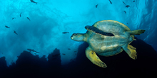 Scientists and Scuba Divers Work together to Save Cocos Island's Spectacular Marine Life