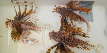 Scourge of the Lionfish, Part I