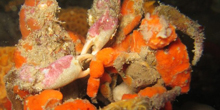 Blue Zoo: Decorator Crab