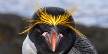 Blue Zoo: Macaroni Penguin