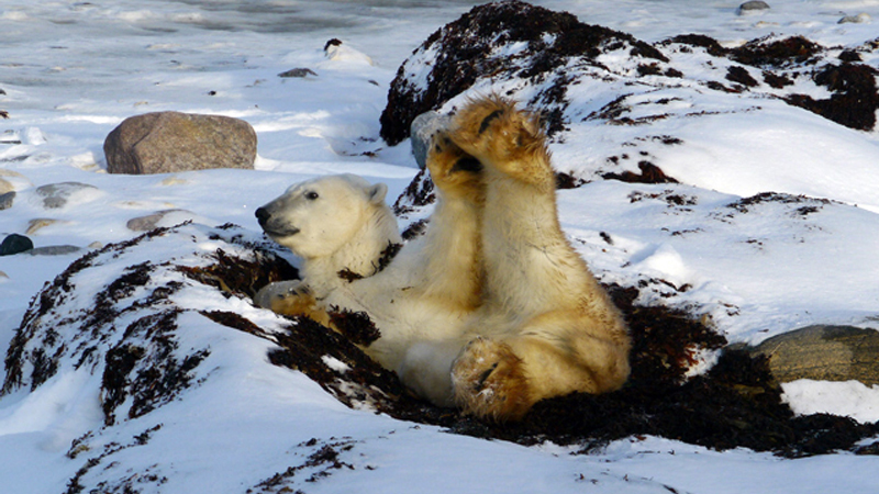 Field Report: Polar Bears Are The New Canaries