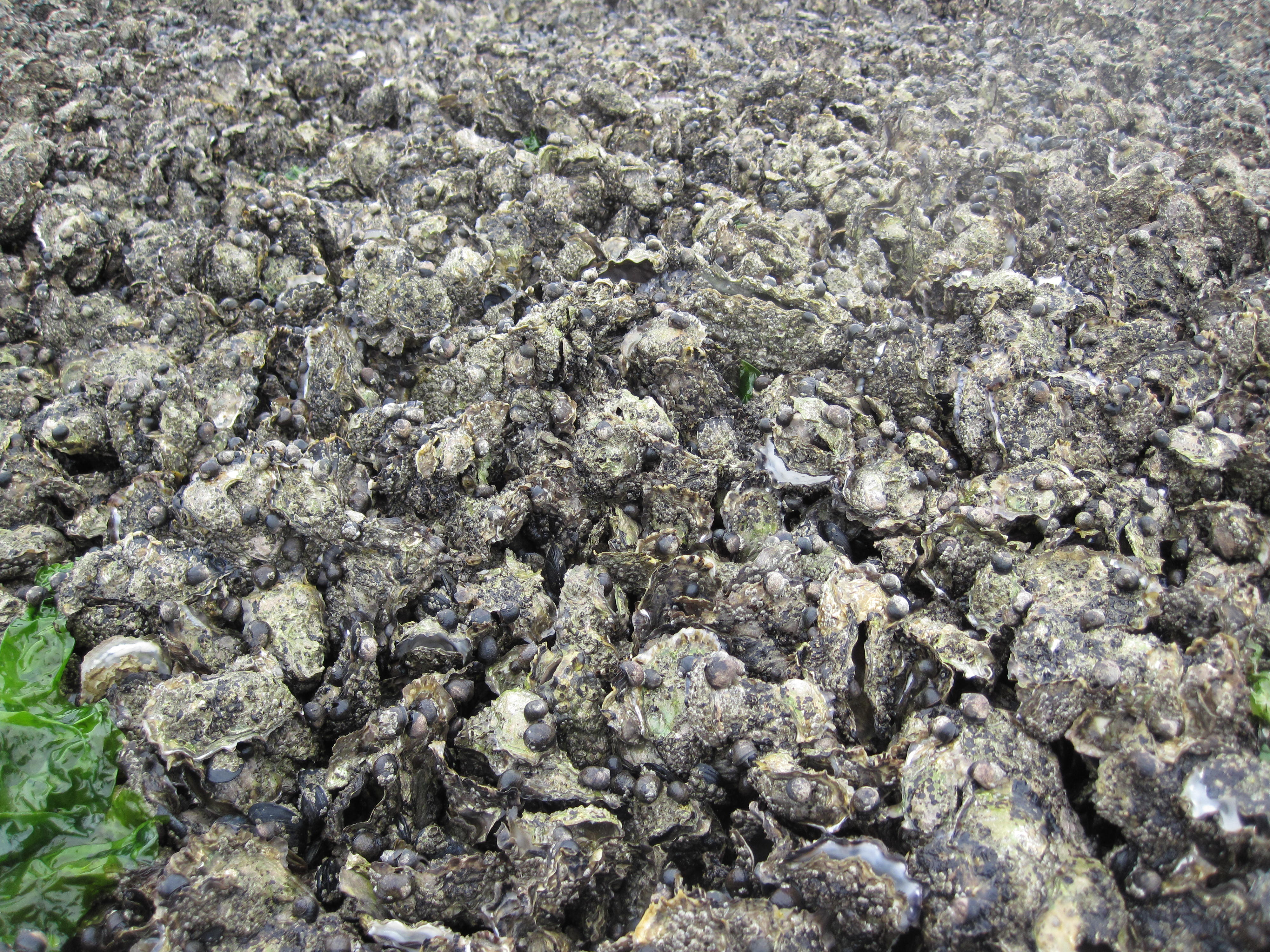 Mixed bed of native blue mussels and invasive Pacific oysters