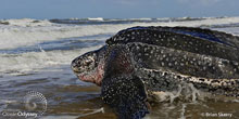 Leatherback Turtle Saved Near Cape Cod