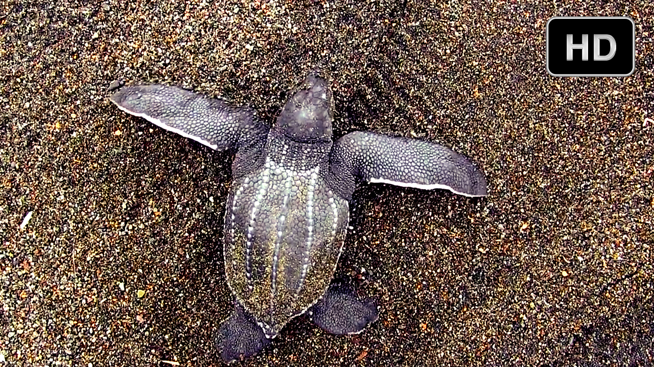 Last Stand of the Leatherback Sea Turtle