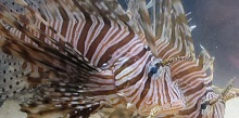 Scourge of the Lionfish Part 4: How Did The Most Beautiful Reef Fish Become the Seas' Worst Invader?
