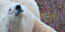The School: Polar Bear Update