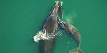 North Atlantic Right Whale Mysteries
