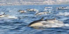 Superpod of Dolphins off Dana Point, California