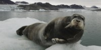 Blue Zoo: Bearded Seal