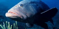 Blue Zoo: Goliath Grouper
