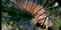 Blue Zoo: Lionfish