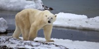 Despite New Report, Polar Bears Are Still Threatened