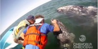 Friendlies: the Gray Whales of San Ignacio Lagoon