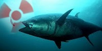 Knocking on Heaven's Shore; Bluefin Tuna Carrying Safe Fukushima Nuclear Radiation