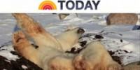 Laziest Polar Bear Featured on Today Show