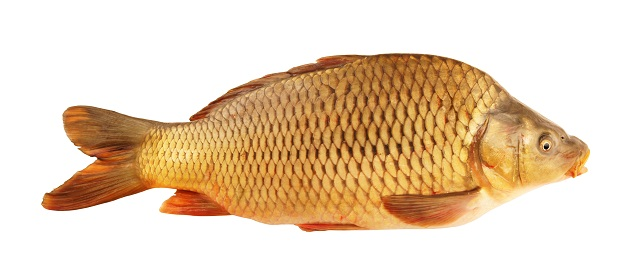 The green list us farmed fish one world one ocean for What kind of fish is tilapia