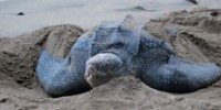 The Leatherback Turtles of Trinidad