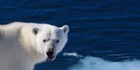 The School: Polar Bear Adaptations for Hunting