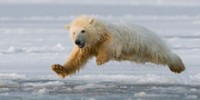 UK Climate Week Features Polar Bears